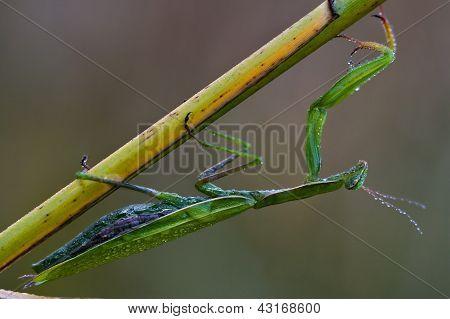 Wild Side Of Praying Mantis Mantodea