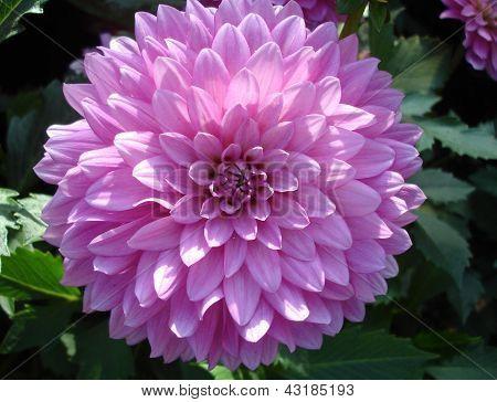 Blooming Zinnia