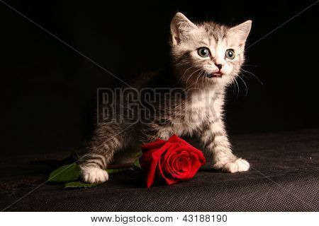 little cute gray cat over black background with one red rose