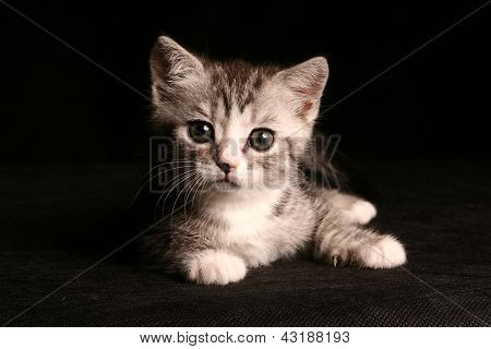 little cute gray cat over black background