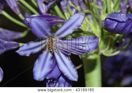 Bee On Agapanthus Flower