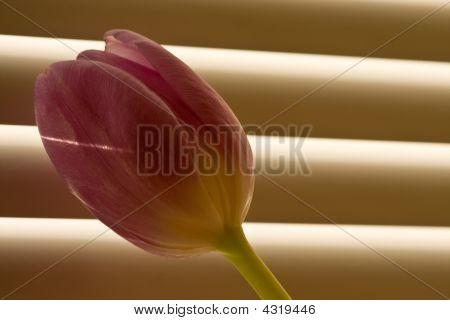 Tulip In Front Of Window-blind