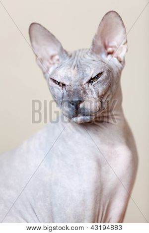 Sphynx Hairless Cat Portrait Looking At The Camera