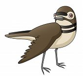 picture of killdeer  - An Illustration depicting a killdeer faking a broken wing - JPG