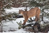 foto of cougar  - Portrait of a cougar - JPG