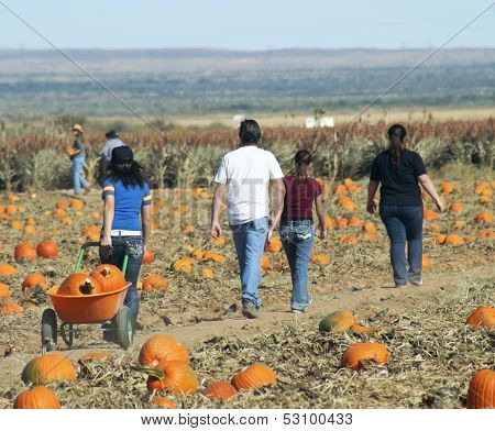 A Family Searches A Pumpkin Patch For Pumpkins