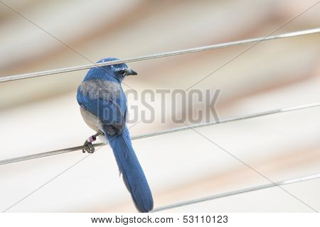 Florida Srcub Jay  - bird on a wire