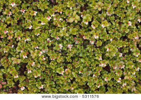 Arctostaphylos Uva Ursi Flowering