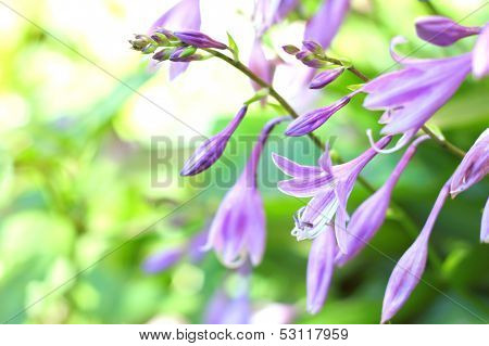 Hosta Flowers Closeup
