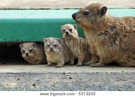 Cape Hyrax, Or Rock Hyrax, (procavia Capensis)