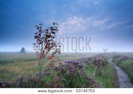 Rowan Berry Tree And Flowering Heather