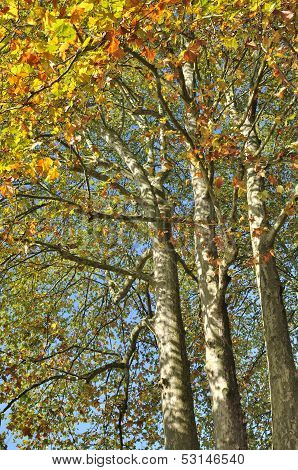 Sycamore In Autumn