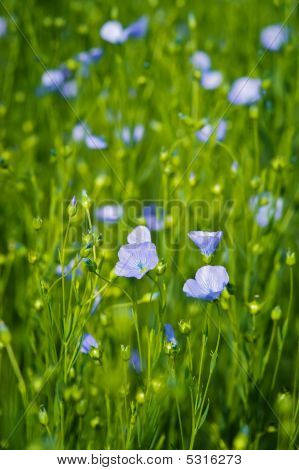 Flax (linum Usitatissimum)In The Field