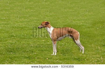 Whippet On Grass