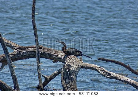 African Darter or Snakebird (Anhinga rufa)