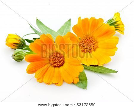 Calendula. Blumen mit Blättern, Isolated On White