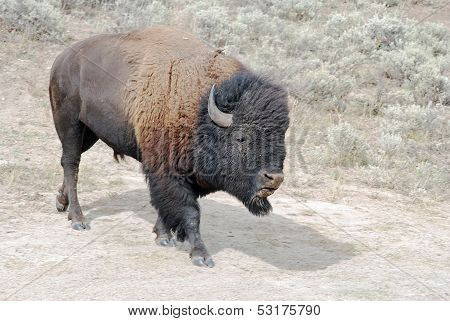 Bison At Dust Wallow