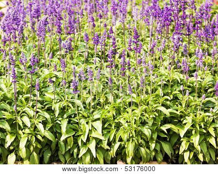 Blue Salvia Plant