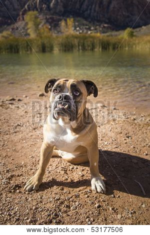 Bulldog posing in front of a pond
