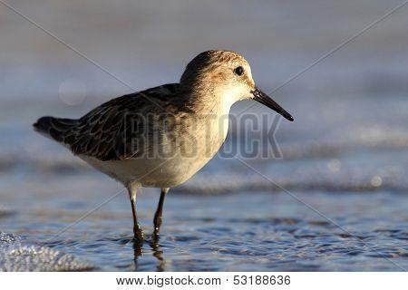 Sandpiper wading shorebird