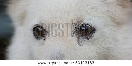 Eye Cute Shih Tzu Breed Dog