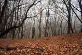 picture of fallen  - Autumn forest with fog among trees and a lot of fallen leaves - JPG