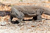 stock photo of monitor lizard  - Komodo Dragon walking in the wild on Komodo Island - JPG