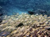 stock photo of school fish  - Various fish sneaking along with a school of Yellow Tang Fish in a rich coral area with parrot fish in the background of Hanamau Bay on Oahu Hawaii - JPG