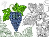 Red wine grapes in vintage engraved style