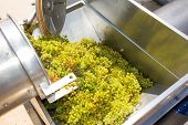 foto of crusher  - chardonnay corkscrew crusher destemmer in winemaking with grapes - JPG