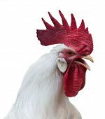 stock photo of thoroughbred  - Portrait of white rooster with a large red comb wattles and earlobes isolated over white - JPG