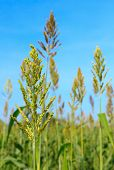 stock photo of sorghum  - Sorghum or Millet field with blue sky background - JPG