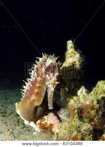 Brown seahorse