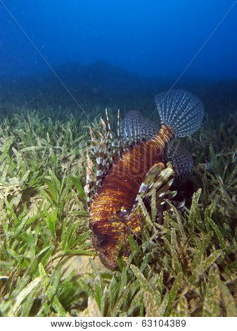 Common lionfish hunting