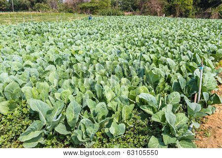 Brassica Alboglabra.