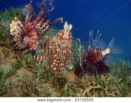 Octopus and lionfish