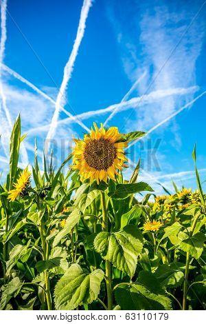 Bright Fresh Sunflower