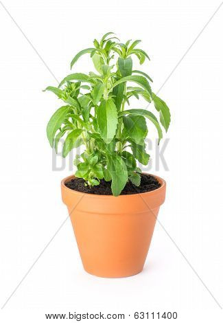 Stevia in a clay pot on a white background