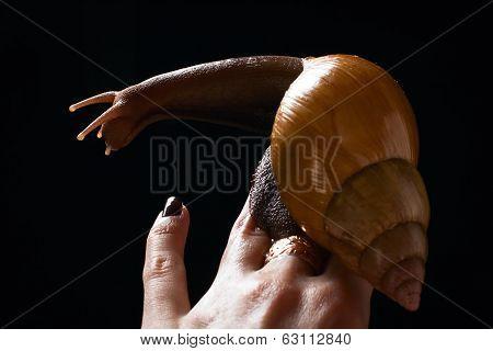 Snail On Hand. Achatina Fulica