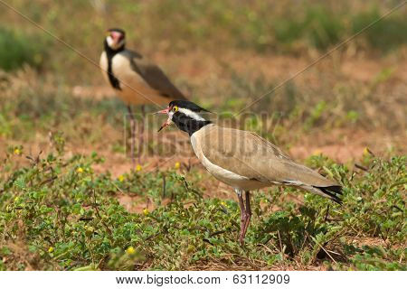 Black-headed Plover Calling To Its Mate