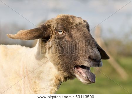 Sheep Bleats