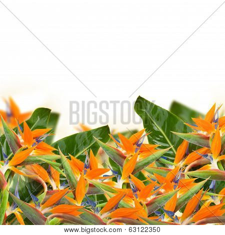 Strelitzia flowers border