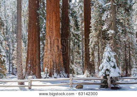 Giant Sequoia Grove