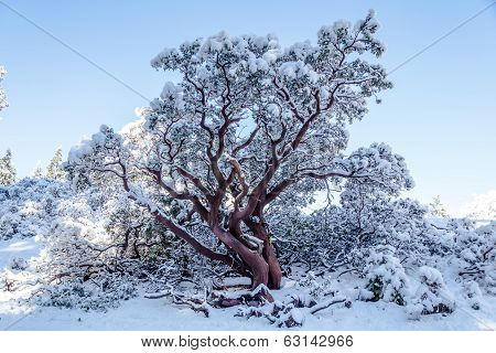 Red Tree Covered By Snow