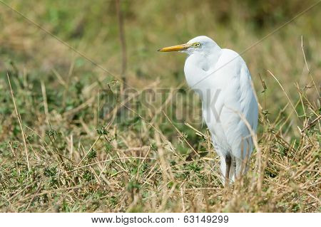 Intermediate Egret Standing In Dried Grasses