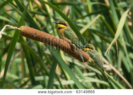 Little Bee-eaters Perched On A Cattail