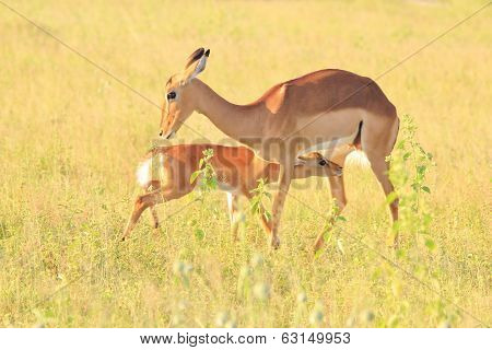Impala Mother - Wildlife Background from Africa - Nursing Lamb