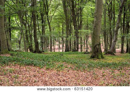 Old buchen forest