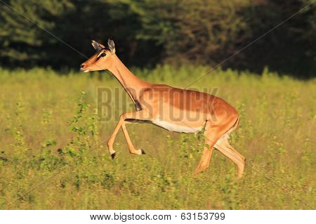 Impala Run - Wildlife Background from Africa - Natural Speed
