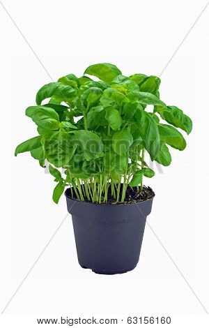 A potted basil herb plant